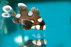 Harlequin or Spotted Clown Sweetlips in Aquarium Royalty Free Stock Photography