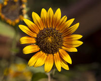 Harlequin Sunflower Royalty Free Stock Images