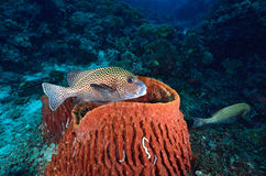 Harlequin sweetlips on the coral Stock Photo