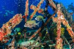 Harlequin Sweetlips entouré par Glassfish images libres de droits