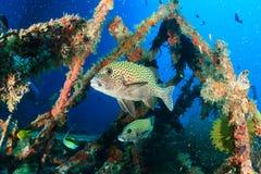 Harlequin Sweetlips et poissons tropicaux sur un naufrage photographie stock libre de droits