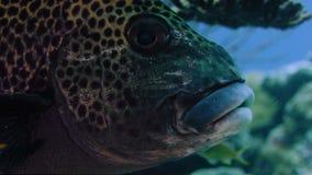 Harlequin sweetlips fish Plectorhinchus chaetodonoides underwater, detail, looking into the camera, WAKATOBI, Indonesia. NOV 2017, slow motion, RED 5K ws 21:9 stock video footage