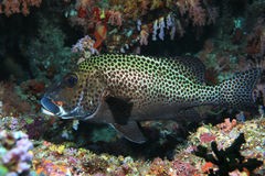 Harlequin sweetlips fish Royalty Free Stock Photos