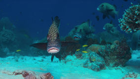 Harlequin Sweetlips sur un récif coralien photos stock