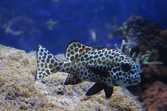 Harlequin Sweetlips Stock Image