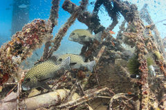 Harlequin Sweetlips and tropical fish on a shipwreck. Tropical fish around a shipwreck underwater royalty free stock image