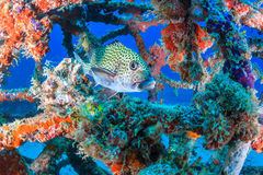 Harlequin Sweetlips and tropical fish on a shipwreck Royalty Free Stock Photography