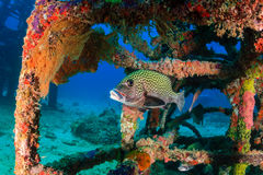 Harlequin Sweetlips and tropical fish on a shipwreck Stock Photo