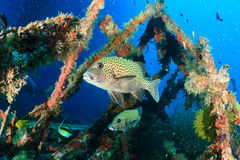 Harlequin Sweetlips and tropical fish on a shipwreck. Tropical fish around an underwater wreck royalty free stock photography