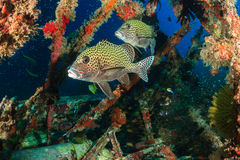 Harlequin Sweetlips and tropical fish on a shipwreck. Harlequin Sweetlips being cleaned by Wrasse on an underwater wreck stock image
