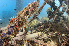 Harlequin Sweetlips and tropical fish on a shipwreck. Sweetlips and glassfish on an underwater wreck royalty free stock photo