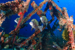 Harlequin Sweetlips and tropical fish on a shipwreck. Several sweetlips and glassfish underwater royalty free stock image
