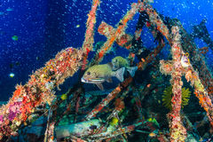 Harlequin Sweetlips and tropical fish on a shipwreck Stock Image