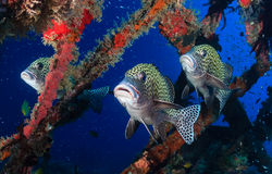 Harlequin Sweetlips and tropical fish on a shipwreck. Three colorful Harlequin Sweetlips on a tropical coral reef stock image