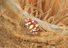 Harlequin swimming crab Stock Photos