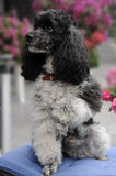 Harlequin toy poodle Stock Images