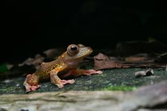 Harlequin tree frog Stock Photos
