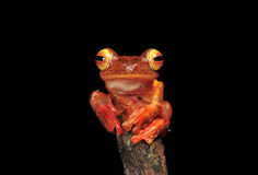Harlequin tree frog. Stay on branches stock photography