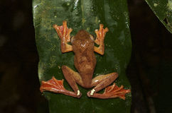 Harlequin tree frog Royalty Free Stock Photography