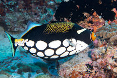 Harlequin Trigger fish while diving Royalty Free Stock Photo
