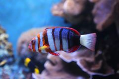 Harlequin Tuskfish Arkivbild