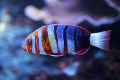 Harlequin Tuskfish Arkivfoton