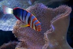 Harlequin Tuskfish Royaltyfri Fotografi