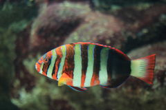 Harlequin tuskfish Royalty Free Stock Photo