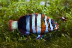 Harlequin tuskfish Choerodon fasciatus. Royalty Free Stock Images