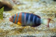 Harlequin tuskfish Choerodon fasciatus. Stock Photos