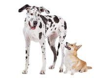 harlequin welsh för hund för apembrokecorgidane stor Royaltyfria Bilder