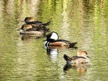 Harles à capuchon pataugeant dans un étang en Floride Images stock