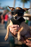 Harley Davidson Chiwawa dog Royalty Free Stock Photos