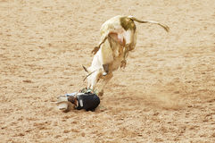 In Harm's Way 1. A bull rider in a dangerous position on the ground Royalty Free Stock Photography