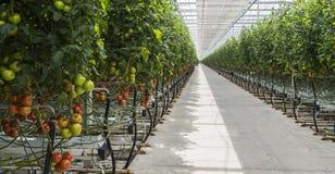 Large Greenhouse Tomato. Harmelen, Netherlands - May 23, 2017: Large tomato greenhouse with ripe tomatoes Stock Photo