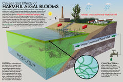 Harmful Algal Bloom Infographic. A large format ecological illustration with descriptive text. The infographic depicts the causes and effects of Harmful Algal Stock Photo