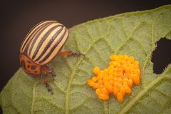 Harmful beetle ,Leptinotarsa decemlineata, and eggs on the leaves. Harmful beetle .Leptinotarsa decemlineata , and eggs on the leaves in the garden royalty free stock images