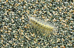 Harmful Caterpillar (Hyphantria cunea) Stock Image