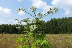 Harmful plant cow parsnip Royalty Free Stock Image