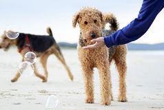 Harmlöshet av hunden som upptäcker bubblor för första gången på stranden Royaltyfri Foto