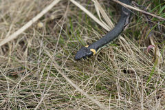 Harmless snakes in the woods, closeup forest snake Stock Images