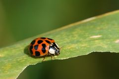 Harmonia axyridis Royalty Free Stock Photo