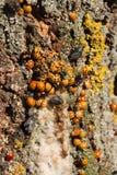 Harmonia axyridis ash tree sap. Stock Image