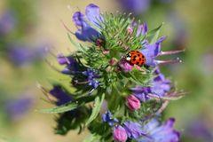 Harmonia axyridis. Beetle Harmonia axyridis and plant Echium vulgare, Europe Stock Images