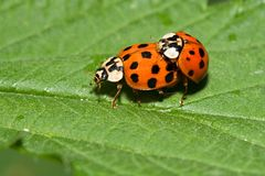 Harmonia axyridis copulation Royalty Free Stock Photo