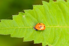 Harmonia Axyridis Nymph Royalty Free Stock Photography