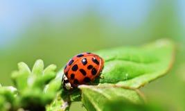 Harmoniaaxyridis de harlekijn of Aziatische ladybeetle royalty-vrije stock foto