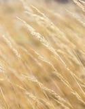 Harmonic pattern of corn Royalty Free Stock Photos