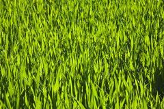 Harmonic structure of green corn Stock Photos