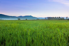 Harmonic view of paddy field with blue sky at Sabah, Borneo Royalty Free Stock Image
